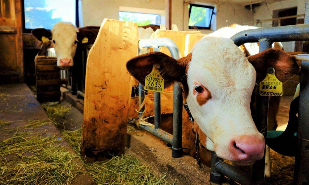 Urlaub mit Tieren auf dem Bauernhof in Völs