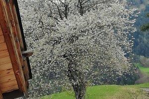 Kirschbaumblüte auf dem Heideggerhof