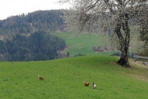 Der Gockel mit den Hühnern auf der Frühlingswiese