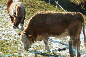 Jungrind-mit-Pony-Helga