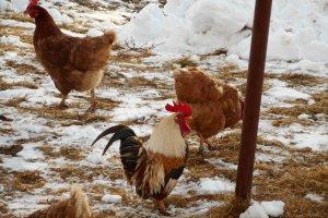 Gockel mit Hühner im Schnee