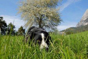 Kirschbaumblüte mit Sultan im frischen Gras
