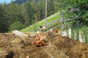 Hühner und Gockel auf dem Misthaufen