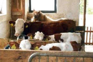 Kleine Fleckviehkälbchen mit Jungrind und Pony Helga