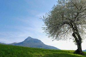 Kirschbaumblüte mit Blick zum Tschafon
