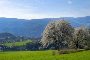 Kirschbaumblüte mit Blick auf Völs und Umgebung